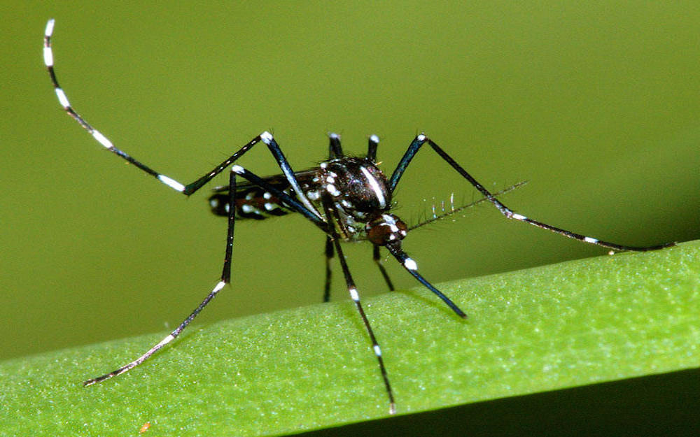 Biologia Zanzara Tigre